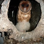 Young Masked Owl