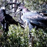 Wedge Tail Eagles